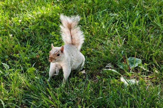 National Mall :                   White Squirrel - Many Squirrels on the Mall