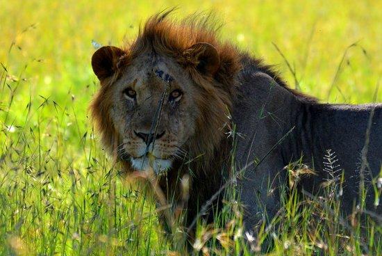 Kilima Camp:                   Lions