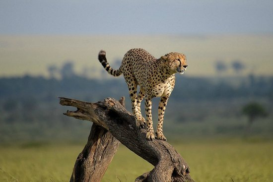Kilima Camp:                   Cheetah during one of the drives