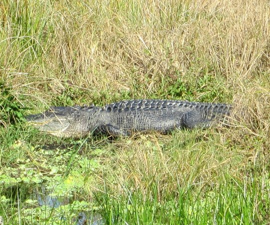 Circle B Bar Reserve:                   Alligator