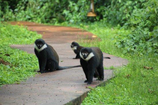Sanctuary Gorilla Forest Camp:                                     family of 20-30 monkeys after our gorilla trek