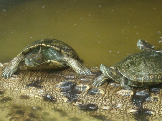 Laguna de Coyuca: Las tortugas viven desde pequeñas con la cocodrila