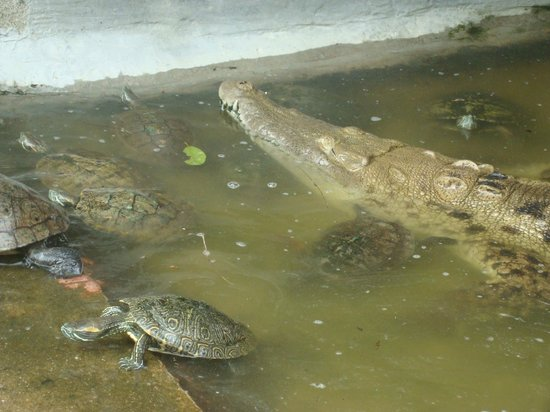 Laguna de Coyuca: Es muy tranquila esta cocodrila cumplió 15 años