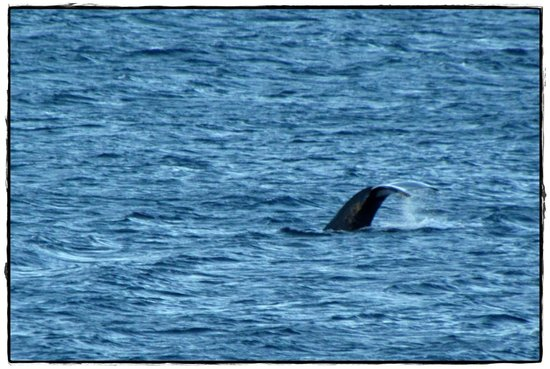 Sheraton Maui Resort & Spa:                   Humpback Whale from our lanai
