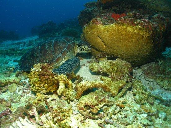 Trawangan Dive Resort:                   Turtles are plentiful