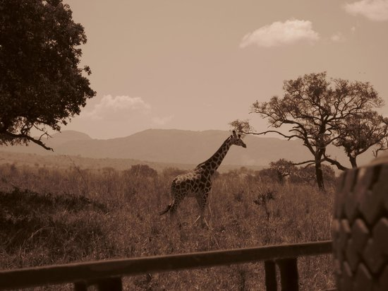 Nga'Moru Wilderness Camp : kidepo giraffe