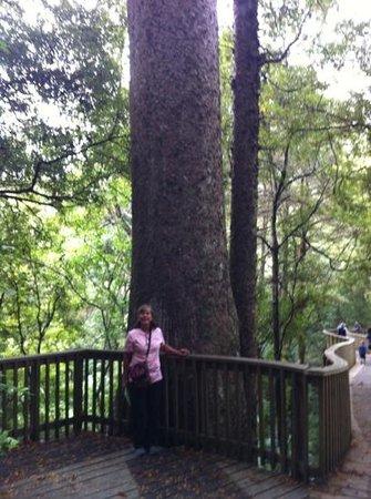 Whangarei Falls: Kauri Tree