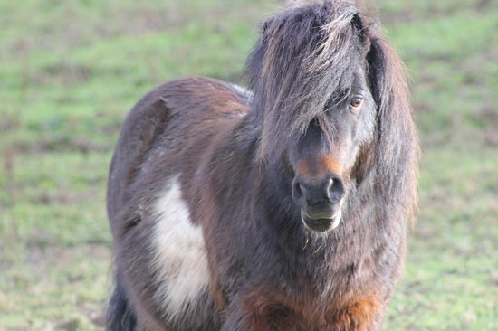Oldaport Farm Cottages:                   One of the farms shetland ponies