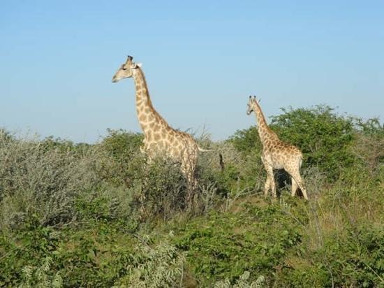 Ekland Safaris:                   giraffes