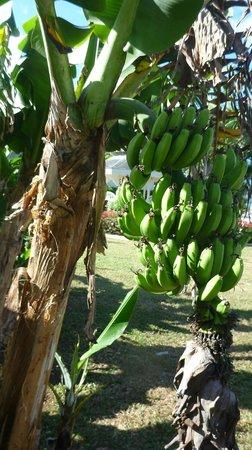 Sunscape Splash Montego Bay :                   Bananier