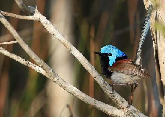 Lamington National Park, Australie :                   Superb Fairy-wren