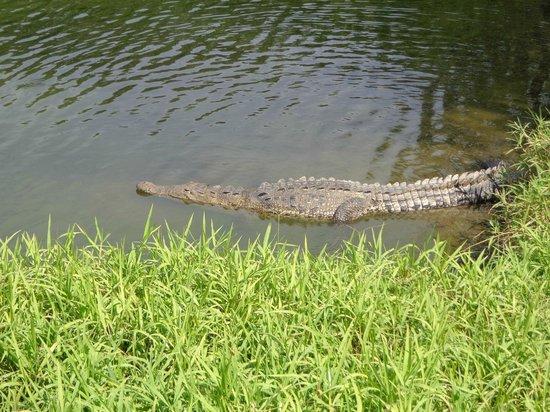 Campo de Golf Ixtapa:                                     croc watching my calf