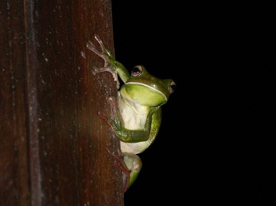 Red Mill House in Daintree:                                     Frog on the terrasse