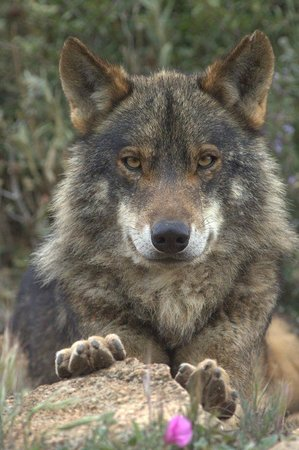 Antequera, Spagna: Iberian Wolf