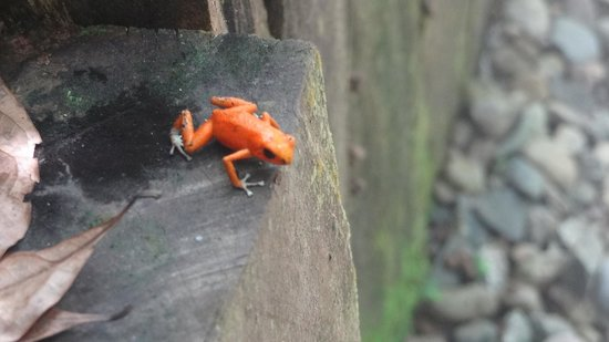 La Loma Jungle Lodge and Chocolate Farm: Red Frog
