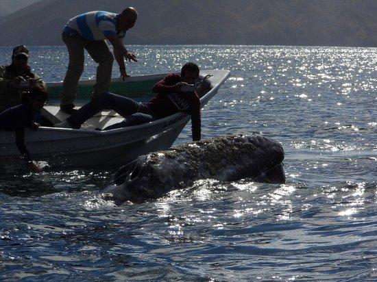 Magdalena Bay Whales:                   Tocando ballena