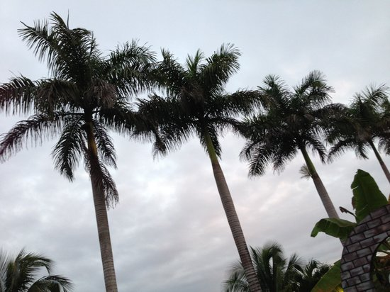 Rumors Resort:                                     Palm trees on the grounds