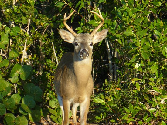 National Key Deer Refuge : Lovely Buck who just posed....he was amazing