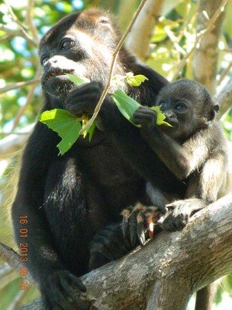 Best Western Tamarindo Vista Villas:                   monos