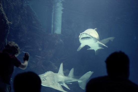 Newport Aquarium:                                     sand tiger!