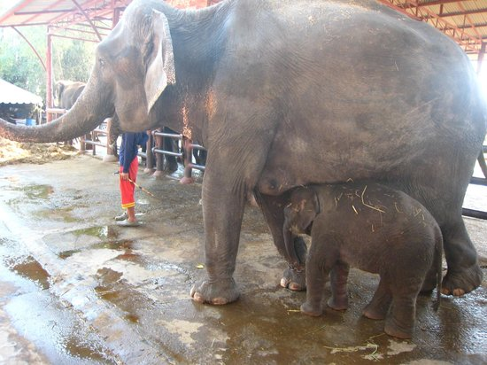 Mahout giving her baby a hug! - Picture of Elephantstay ...