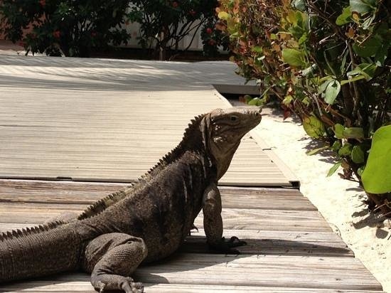 Little Cayman Beach Resort:                                                       iguanas at the resort. very friendly creat