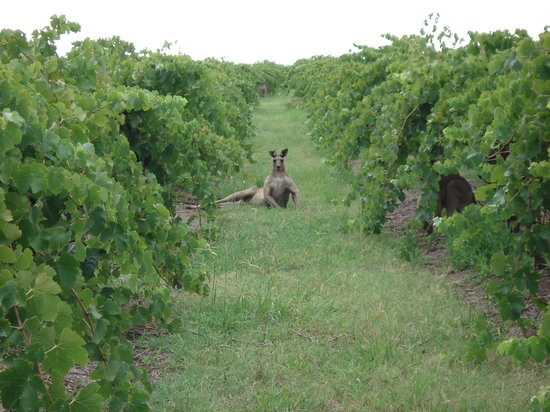 Wyndham Estate: A beautiful Kangaroo in our Black Cluster vineyard