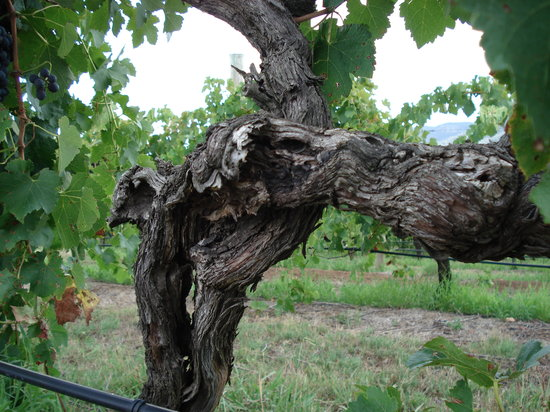 Wyndham Estate: Gnarly old Shiraz vine