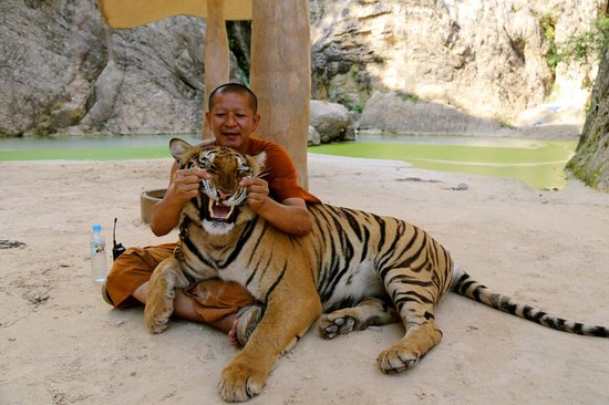 Abuse of tigers - Picture of Tiger Temple Thailand Tour, Kanchanaburi ...