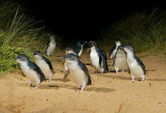 Phillip Island Nature Park:                   參觀企鵝回家