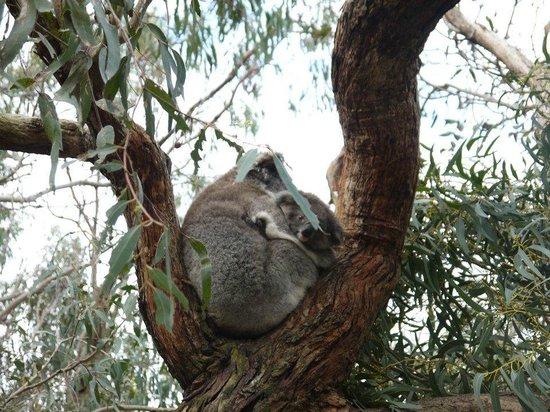 Phillip Island Nature Park:                   無尾熊保育區
