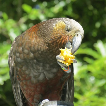 ‪‪Pukaha Mount Bruce National Wildlife Centre‬:                   Kaka feeding on some corn cobs, January 2013