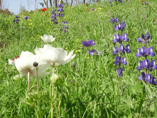 Jerusalem Botanical Gardens:                   anenomes and wild lupins in spring at the JBG