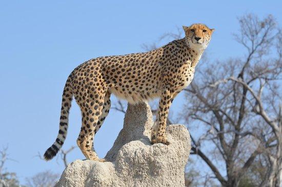 Chitabe Camp:                   Cheetah on termite mound