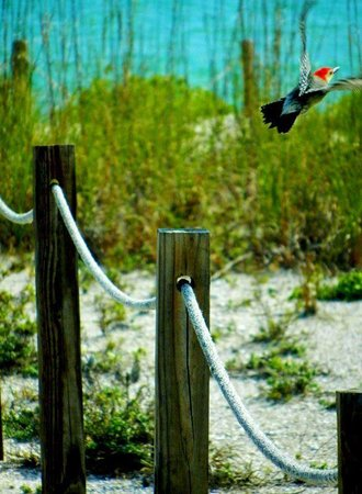 Woodpecker at the Blind Pass Condominiums beach entrance