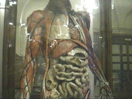 Foto de Museo di Anatomia Umana, Turín: modello anatomico corpo ...