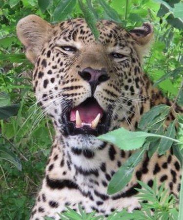 Inyati Game Lodge, Sabi Sand Reserve: Einer von 4 Leoparden innerhalb von 2 Tagen Aufenthalt