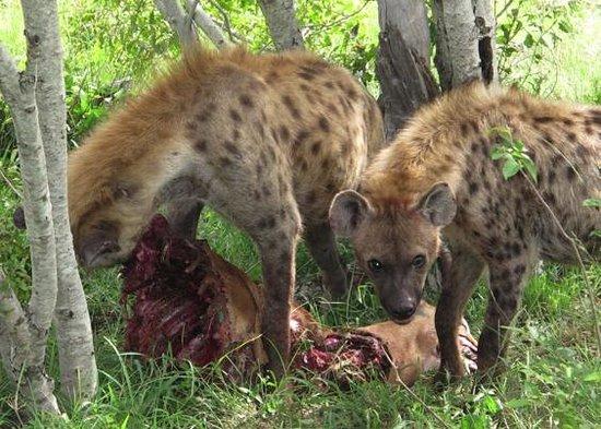 Inyati Game Lodge, Sabi Sand Reserve: Hyänen mit Beute
