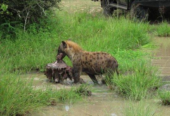 Inyati Game Lodge, Sabi Sand Reserve: Hyäne schleppt ihre Beute fort