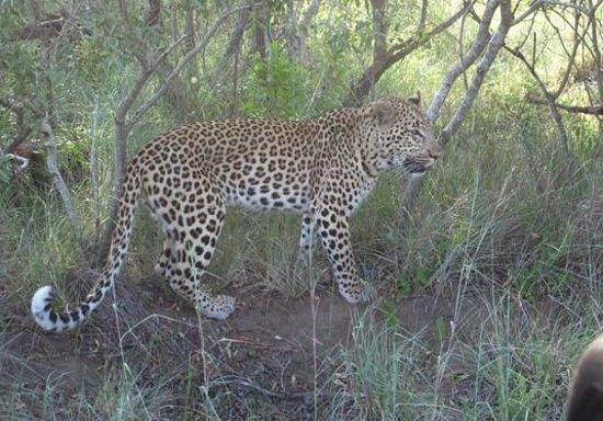 Inyati Game Lodge, Sabi Sand Reserve: Der 2. von 4 Leoparden innerhalb von 2 Aufenthaltstagen