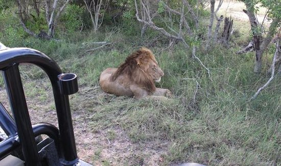 Inyati Game Lodge, Sabi Sand Reserve: Der Löwe denkt noch nicht ans Aufstehen