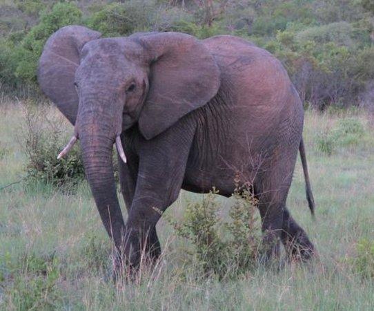 Inyati Game Lodge, Sabi Sand Reserve: Elefant im Abendlicht