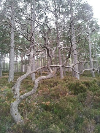 Loch an Eilein: How gorgeous is this tree?!  I'm sure fairies live there...