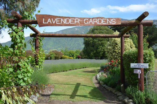 Dylans Country Cottages:                   Lavender farm garden