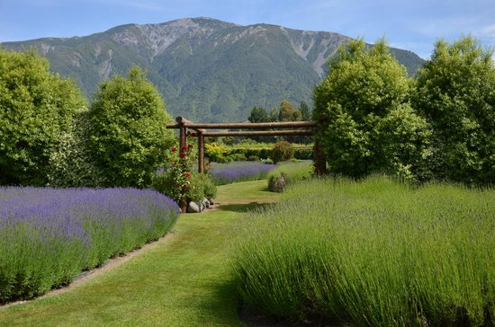 Dylans Country Cottages :                   Lavender farm garden