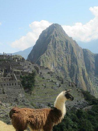 Inkaterra Machu Picchu Pueblo Hotel: A llama hanging out at Machu Picchu