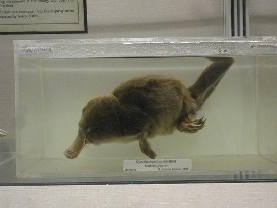 University Museum of Zoology:                   palatapus