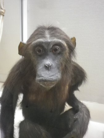 University Museum of Zoology :                   chimp