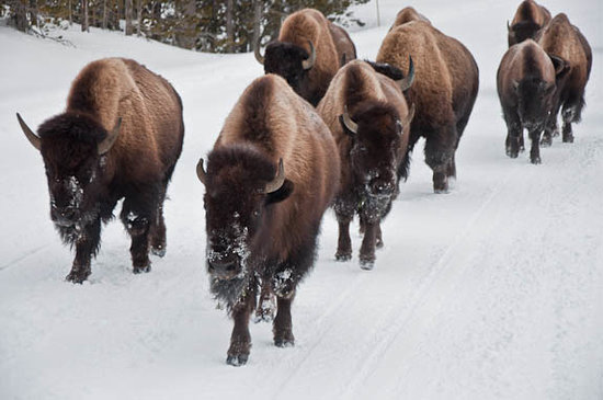 Wyoming:                   Bison in Yellowstone National Park