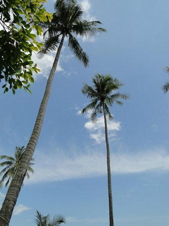 Cape Panwa Hotel : Gorgeous palms